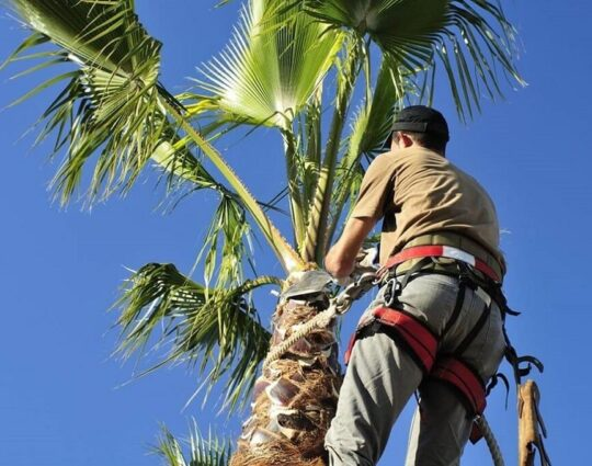 Palm Tree Trimming-Lubbock Tree Trimming and Stump Grinding Services-We Offer Tree Trimming Services, Tree Removal, Tree Pruning, Tree Cutting, Residential and Commercial Tree Trimming Services, Storm Damage, Emergency Tree Removal, Land Clearing, Tree Companies, Tree Care Service, Stump Grinding, and we're the Best Tree Trimming Company Near You Guaranteed!